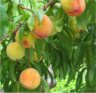 Daily Zohar # 1711 – Shemot – The Zohar is the fruit of the Tree